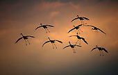 Sandhill Cranes of Wisconsin