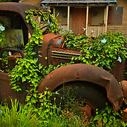 Forks, WA - Morning Glories sprout from an old, rusted truck in Forks, Washington. 14.5 X 9.5