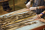 Sweetwater, TX - March 15:  A Jaycee snake volunteer rolls western diamondback rattlesnake skins during the 51st Annual Sweetwater Texas Rattlesnake Round-Up ,  March 15, 2009 in Sweetwater, TX. During the three-day event approximately 10,000 rattlesnakes will be collected, milked and served to support charity.
