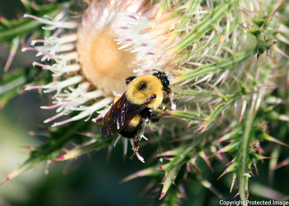 Bumble Bee sipping nectar from a Jekyll Island beach thistle