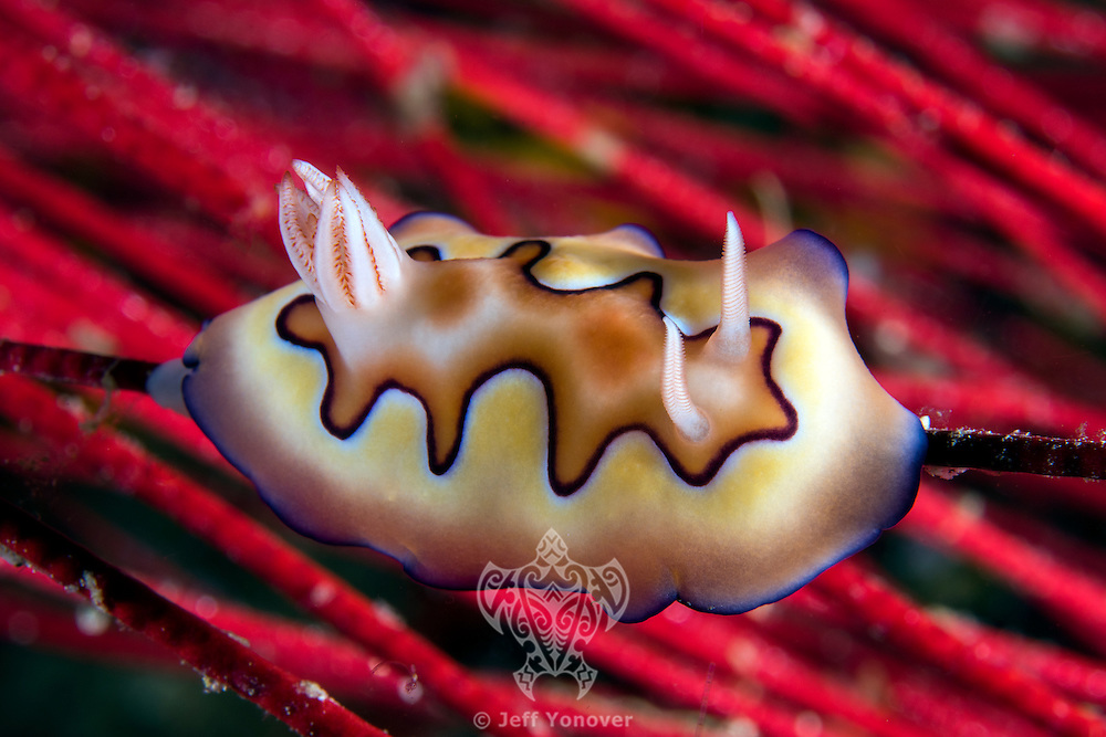 Chromodoris Nudibranch on Sea Whips<br /> <br /> Shot in Raja Ampat Marine Protected Area West Papua Province, Indonesia