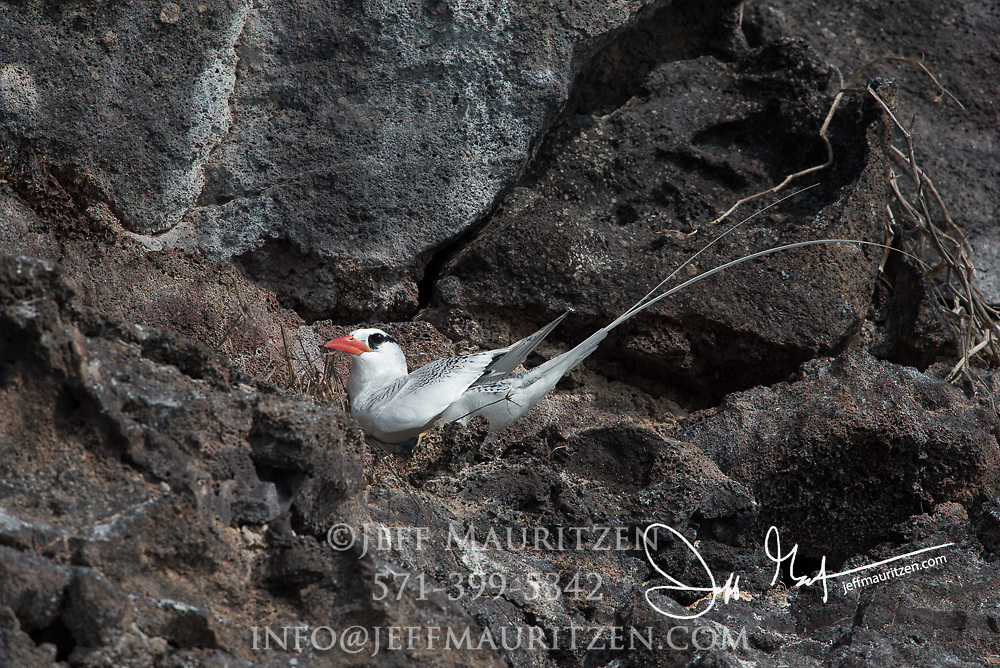 A Red-billed tropicbird perches on the side of a cliff on Genovesa island, Galapagos, Ecuador.