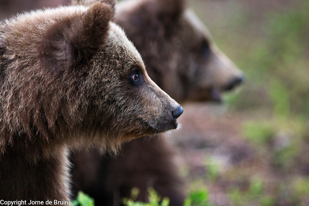 Two Eurasian Brown Bear Cubs are standing in a forest in Finland.