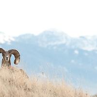 trophy bighorn sheep resting in grass big mountain background, wild rocky mountain big horn sheep