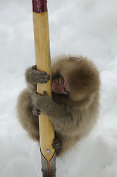 A baby snow monkey tries to eat a snow shovel during winter at a hot spring in Japan.