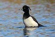 Tufted Duck - Aythya fuligula - male