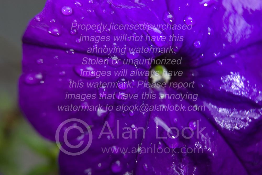 07 June 2009: rain drops rest on flower petals after a shower.