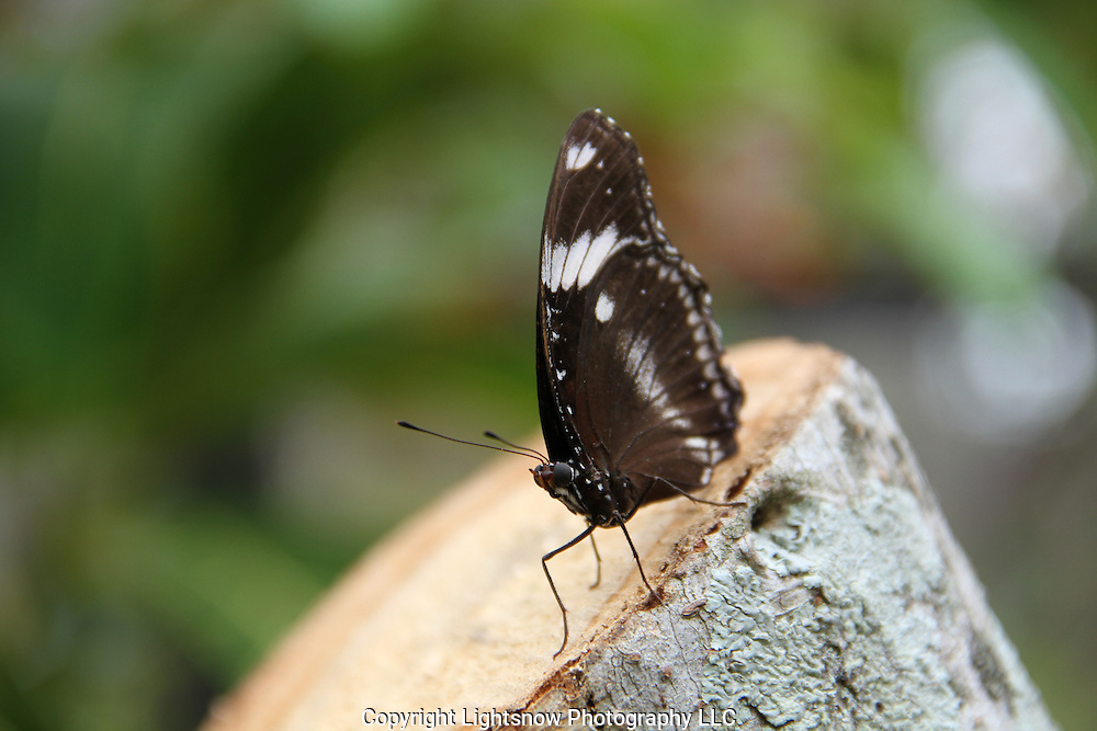 This is a photograph of a Grecian Shoemaker Butterfly.  This is the female.