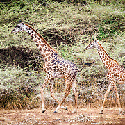 Two giraffes walk through the bush of Lake Manyara National Park in northern Tanzania.