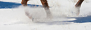 Hooves of trotting horse kick up fresh snow, © 2009 David A. Ponton, [Prints to 8x24, 10x30 or 12x36 in. with no cropping]
