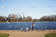 LONDON, ENGLAND - November 28, 2016: Gulls, Pigeons and Swans flock at Round Pond in Hyde Park.<br /> <br /> <br /> CREDIT: Clay Williams.<br /> <br /> © Clay Williams / http://claywilliamsphoto.com