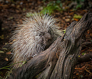 The porcupine is a rodent. It has black to brownish-yellow fur and strong, short legs. It has hairless soles on its feet that help it climb trees. It has a round body, small ears and a small head. The most recognizable feature of the porcupine is its quills. A porcupine may have as many as 30,000 quills.