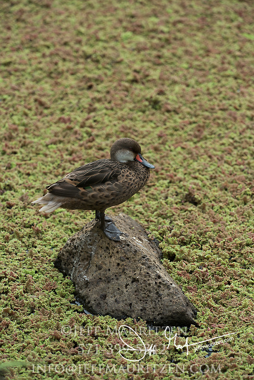A White-cheeked pintailed duck stands on a rock above algae covered water in the highlands of Santa Cruz island in the Galapagos.