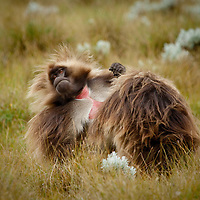 Male Gelada baboons, Theropithecus gelada, grooming on the Guassa Plateau of the Ethiopian Highlands