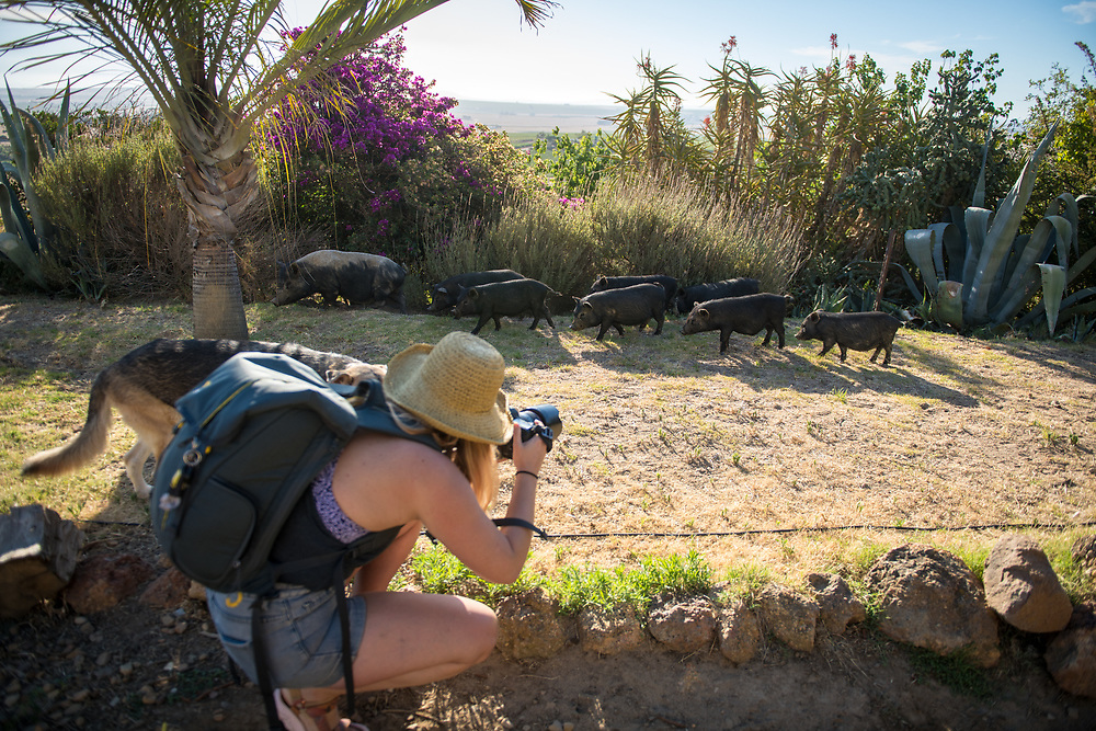 Young female photographer bends down to photograph a herd of young pigs with their mother, Cape Town, South Africa