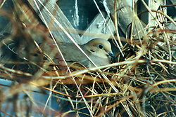Mourning dove in nest Note: This image was originally produced on film and scanned to produce a digital file.  Some dust may be visible from that scan (Photo by Alan Look)