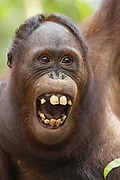 Bornean Orangutan <br /> Pongo pygmaeus<br /> Tanjung Puting National Park, Indonesia