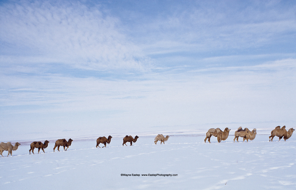 Bactrian Camels crossing the Steppes in winter, Kazakhstan