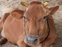 Roadside scene with cow, Mysore