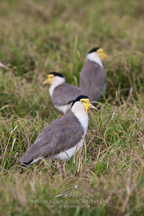 Masked Lapwing, northern subspecies: Vanellus miles miles