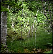 Fresh river water meets hot spring water, containing sulphur near Kumagoe Waterfall killing some of the trees, Shiretoko National Park, an UNESCO World Heritage Site, Hokkaido, Japan.