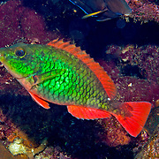 Redband Parrotfish swim about reefs and adjacent areas scrapping filamenmtous algae from hard substrates in Tropical West Atlantic; picture taken Grand Cayman.