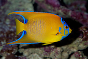 Queen Angelfish, Holacanthus ciliaris.