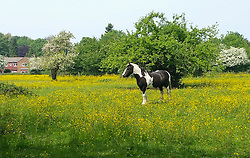 © Licensed to London News Pictures. 28/04/2016. Halstead, UK.  A horse stands in carpet of bright yellow buttercups in a field in Halstead, Kent on a summers day. Photo credit: Grant Falvey/LNP