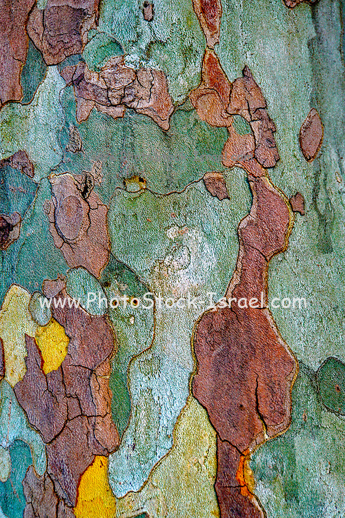 Close up of the peeling colourful bark and trunk of a tree. With a bit of imagination one can almost see a portrait of a lady