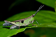 Unidentified species of Short-horned Grasshopper, family Acrididae, from La Selva, Ecuador.
