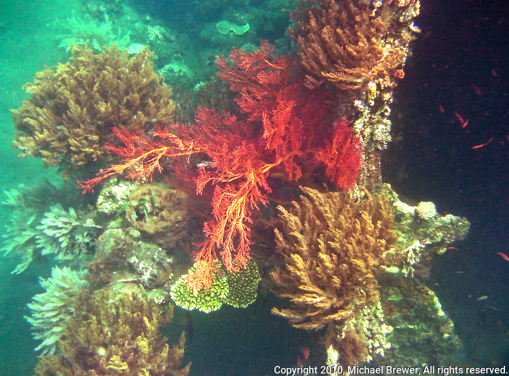 Bright red coral growing off the side of a Japanese wreck off Bali, Indonesia.  The bright colors of the coral are offset by the aquamarine of the surrounding water.