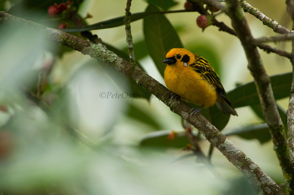 Golden Tanager (Tangara arthusa)<br /> Mindo<br /> Cloud Forest<br /> West slope of Andes<br /> ECUADOR.  South America<br /> HABITAT & RANGE: Canopy and borders of foothill and subtropical forest and woodland on both slopes of the Andes.