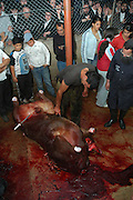 Israel, Galilee, Mount Meron, Slaughtering a cow according to Jewish customes a set of 7 images. The butchered animal