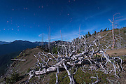 Tree skeletons under a near-full moon at night, on Blue Mountain in Olympic National Park
