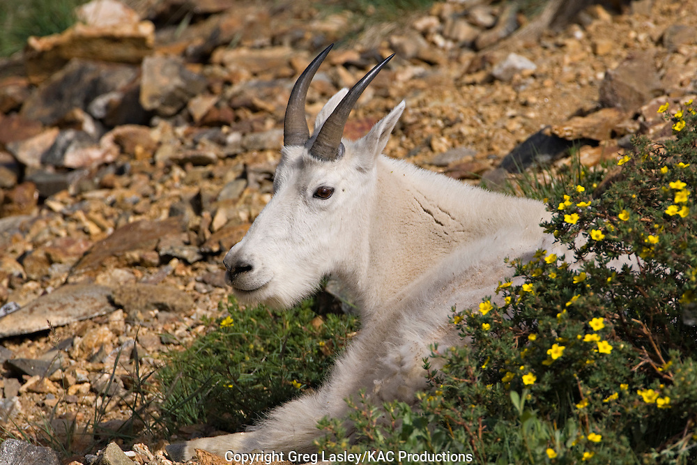 Mountain Goat.Oreamnos americanus.adult resting.Blue Lakes,.Summit Co., Colorado.23 July 2008
