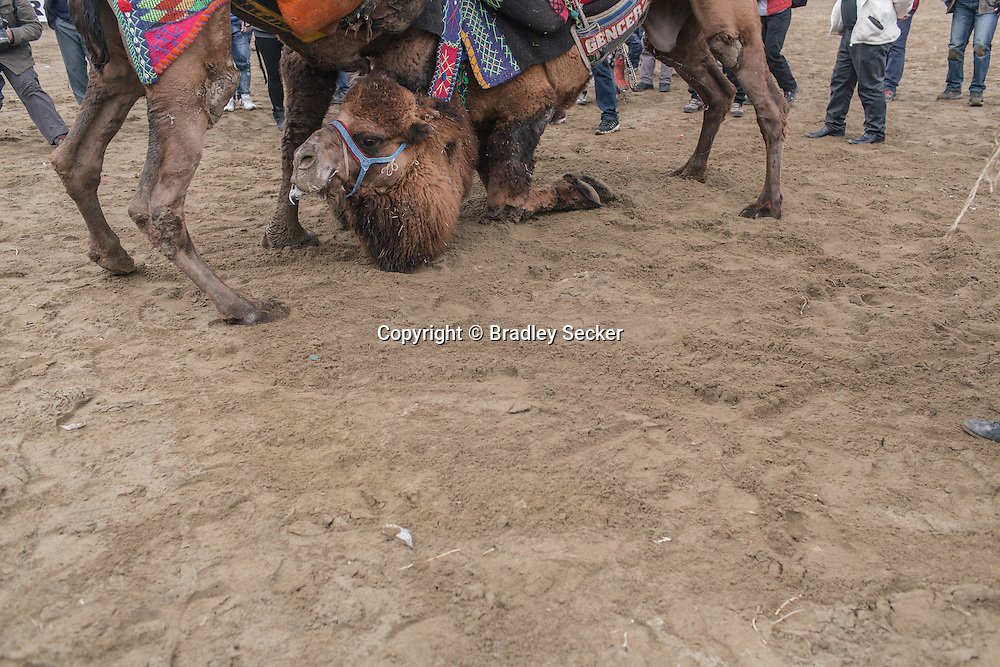 TURKEY, Izmir, Selçuk.   Competing camels wrestle during the 35th Selçuk Camel Wrestling Festival.