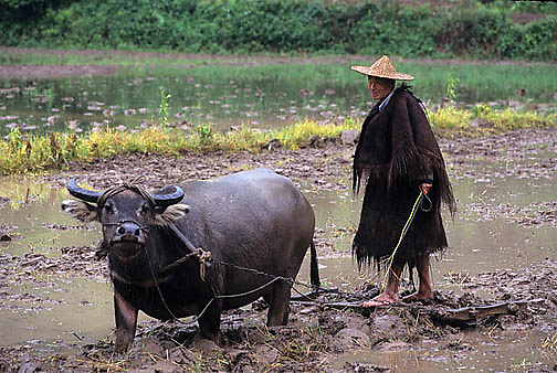 China, Agriculture, Farmer tending rice fields with domestic water buffalo.