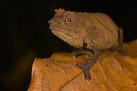 Spectral Pygmy Chameleon (Rhampholeon spectrum spectrum)..Bioko Island, Equatorial Guinea.