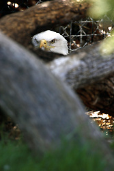 28 April 2007: The keepers at Miller Park Zoo in Bloomington Illinois were recently surprised when the female eagle (named Beauty, pictured) they have on display suddenly nested and produced 2 eggs.  The male (named Mathata) that is in the same display is considered to be only one of the possible suitors.  The other possible suitor is a wild eagle that has suddenly appeared at the zoo.  The 2 captive birds are both unable to fly due to injuries and have been on display at the zoo for 13 years.  These are the first eggs produced during that time.  The eggs have not been examined to determine if they are fertile. (Photo by Alan Look)
