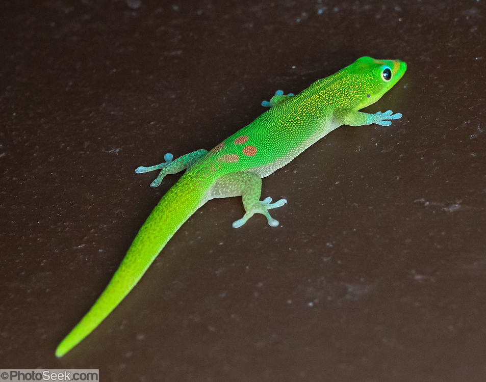 Introduced to Hawaii, the gold dust day gecko (Phelsuma laticauda) is native to northern Madagascar and the Comoros. It is commonly known as the mascot of GEICO. This lizard photo is from Hawaii Tropical Botanical Garden near Hilo, Big Island, Hawaii, USA..