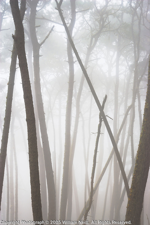 Monterey Pines in Fog, Monterey, California