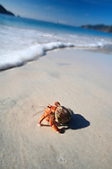 Hermit Crab (Coenobita compressus) on Quesera Beach, Curu Wildlife Refuge, Nicoya Peninsula, Costa Rica. <br />