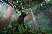 Bears: Taxidermy animals were originally key parts of these dioramas of nature scenes, small recreations of researched locations of the natural habitats of the full sized animal taxidermy examples.  The dioramas were hugely popular in the community and several of the 20 odd installations in the museum were relocated to the new public museum; other taxidermy animals from the installations were re-tasked at the new museum on the other side of downtown as well…hence some of these dioramas' animals are absent and the 'habitats' are damaged--this all took place in the 1980's when the museum staff relocated parts of the  dioramas to their new purposes in the new museum. Originally built from about 1938 when the first Grand Rapids Public Museum (GRPM) was completed.The original museum was founded as the 'Kent County Scientific Society' and is one of the oldest Natural History Collections in the US--founded before both the American Natural History Museum in NYC, and the Field Museum in Chicago. From the collection the grand rapids public museum.