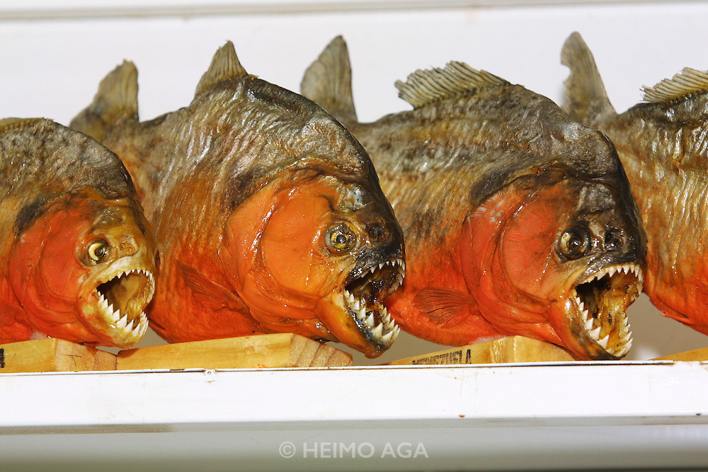 Souvenir Piranhas for tourists.