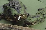 Vereinigte Staaten von Amerika, USA, Florida: amerikanischer Mississippi-Alligator (Alligator mississippiensis). Zwei Alligatoren sind am ganzen Koerper mit Entengruen bedeckt. Einer von ihnen hat einen Fisch in seinem Maul. | United States of America, USA, Florida: American Alligator, Alligator mississippiensis, two Alligators, one with a fish in it's mouth, both covered with duckweed. |