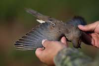 DETAIL OF A HARVESTED MOURNING DOVE