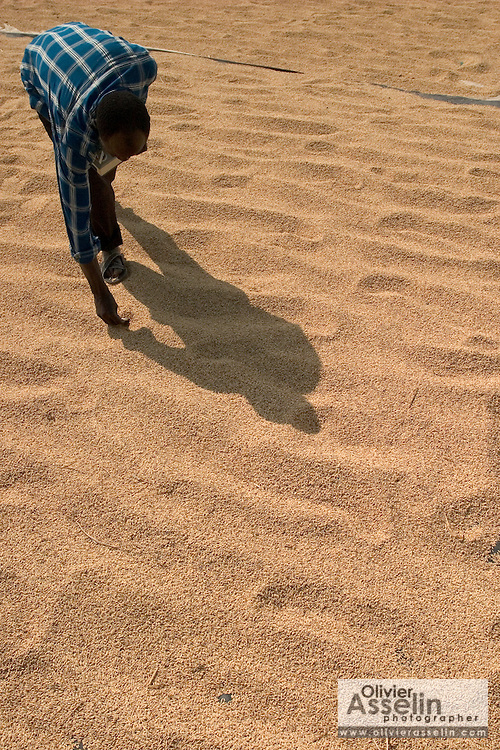 Worker verifying humidity level in rice that is drying in the sun in Asutsuare, Ghana.