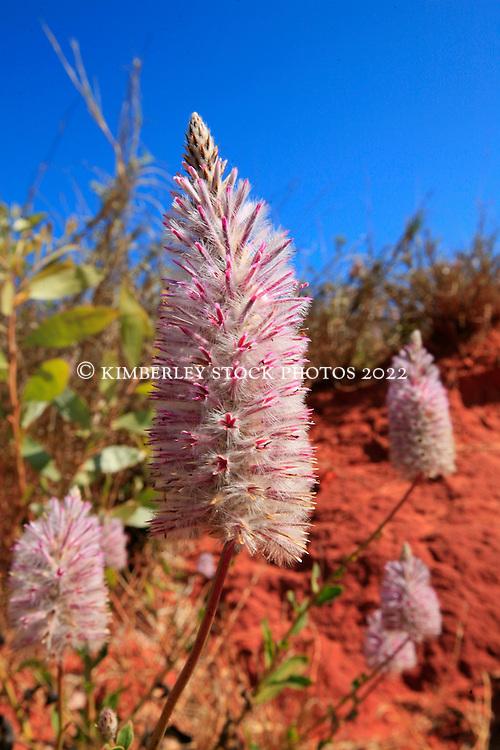 Mulla Mulla (Ptilotus exultata) growing next the stunning pindan cliffs at James Price Point on the Dampier Peninsula.