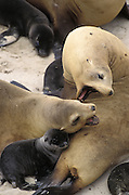 California Sea Lion<br /> Zalophus californianus<br /> Females squabble over space<br /> Channel Islands NP, San Miguel Island, CA