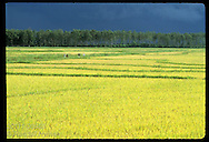 Angry sky broods over ripe rice as farm hands race home through field to beat storm; Pelotas, RS Brazil